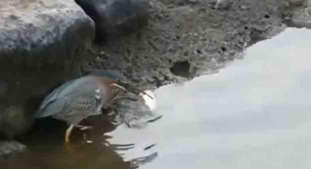 طائر يصطاد سمكة بطريقة البشر