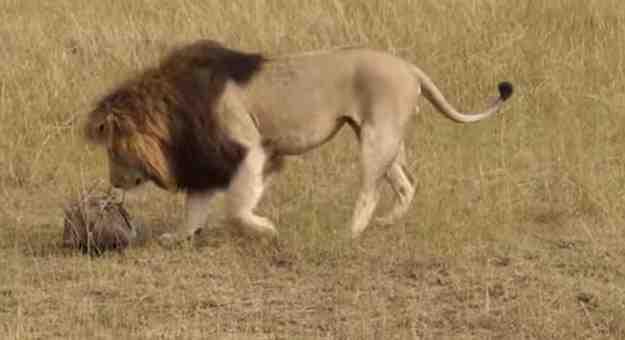 فيديو يشرح عمليات تصوير الحيوانات المفترسة في الطبيعة