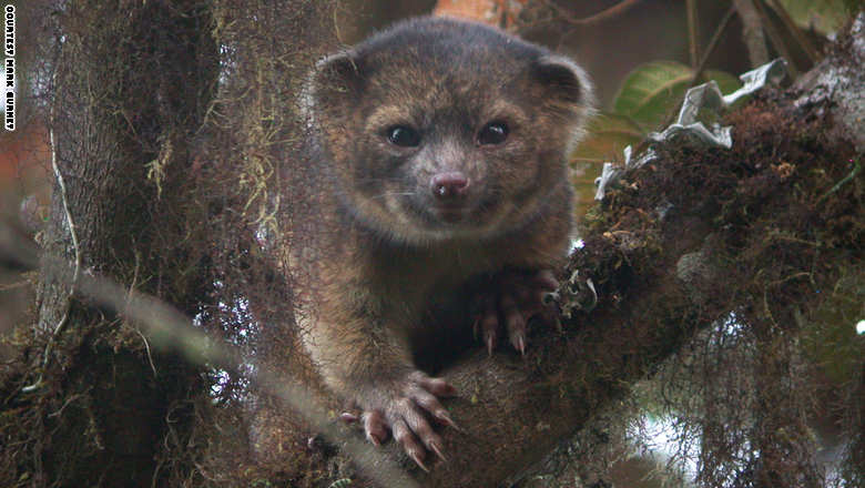 Top 10 New Species - Olinguito