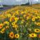 الزهور تعانق الصحراء في افريقيا … صور