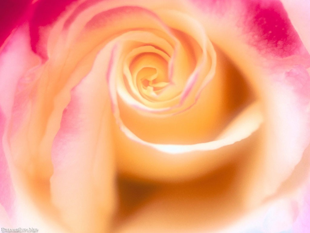 Colored roses11
