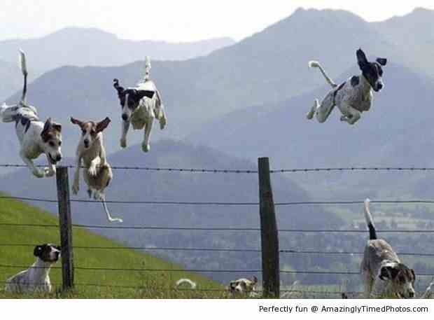Dogs-leaping-over-the-fence-resizecrop--