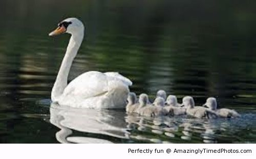 Mother-swan-and-her-chicks-resizecrop--