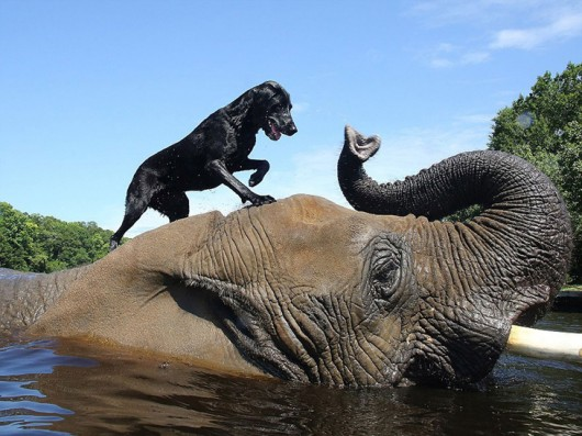 elephant-dog-friendship-bubbles-and-bella-1-530x397