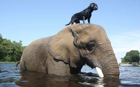elephant-dog-friendship-bubbles-and-bella-2-530x331