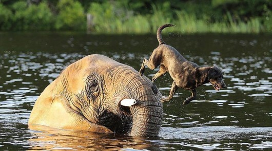 elephant-dog-friendship-bubbles-and-bella-3-530x295