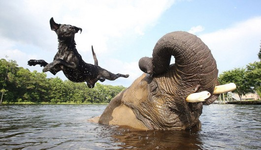 elephant-dog-friendship-bubbles-and-bella-4-530x305
