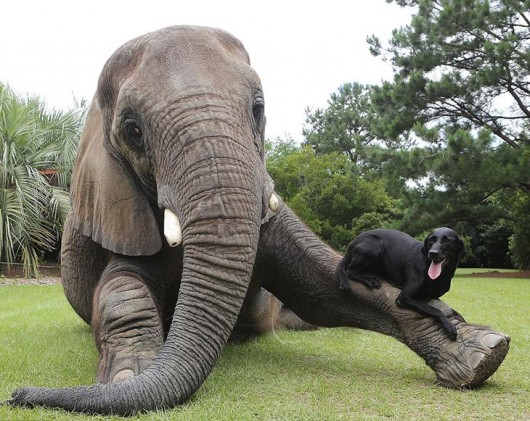 elephant-dog-friendship-bubbles-and-bella-6-530x421