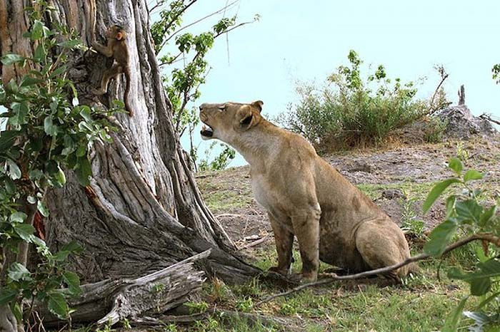 lioness-and-baboon-cub-02