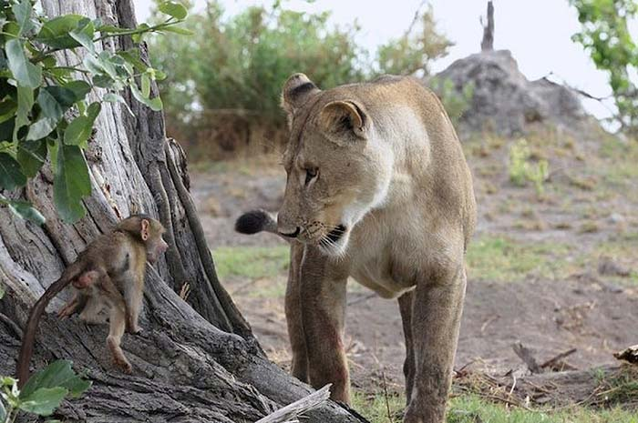 lioness-and-baboon-cub-03