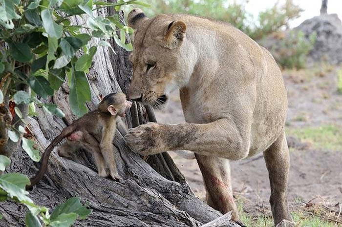 lioness-and-baboon-cub-04
