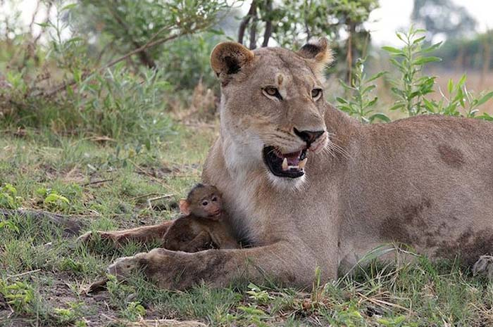 lioness-and-baboon-cub-05
