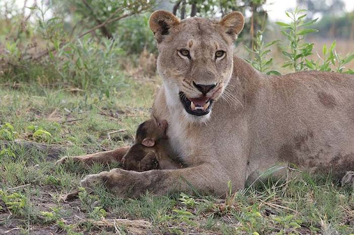 lioness-and-baboon-cub-06