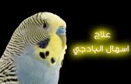 الاسهال عند طائر البادجى أنواعه وأسبابه وعلاجه