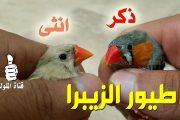 الفرق بين الذكر والانثى في طيور الزيبرا فينش
