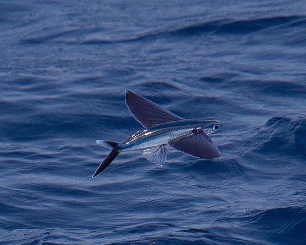 بالفيديو : شاهد السمك الطائر