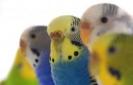 انواع طيور البادجي .. ماهو الاختلاف بين أنواع البادجي