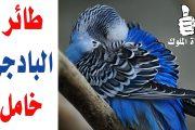 اسباب خمول طائر البادجي