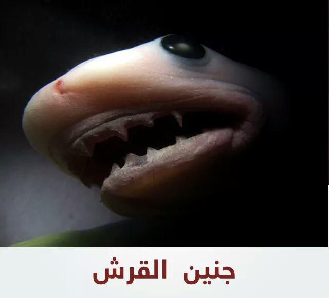 جنين القرش