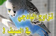 هل تتزاوج طيور البادجي في الصيف ؟