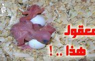 تكاثر طيور البادجي في الصيف