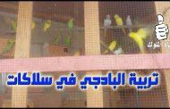 طيور البادجي تربية جماعية