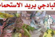طيور البادجي تريد الاستحمام