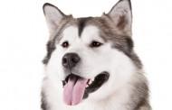 كلب ملموت الاسكي
