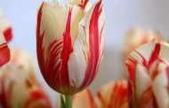 صور ورود ملونة : صور وخلفيات ورود بالوان زاهية