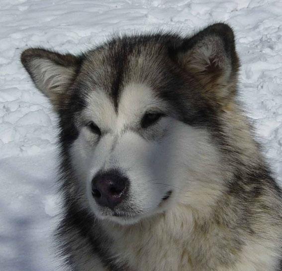 Face-Alaskan-Malamute
