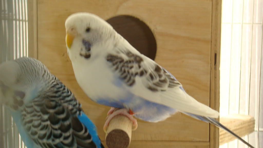 budgie_pregnant