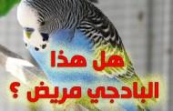 كيف تعرف ان طائر البادجي مريض
