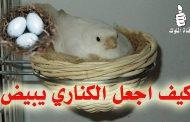 كيف تجعل طائر الكناري يبيض