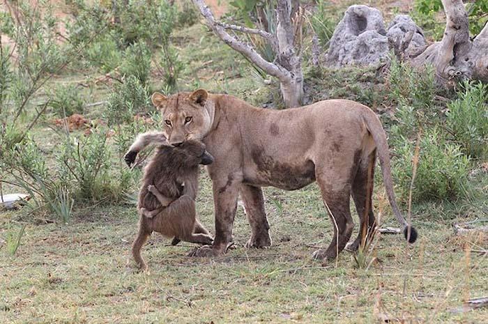 قصة مصورة بين أسد وقرد صغير