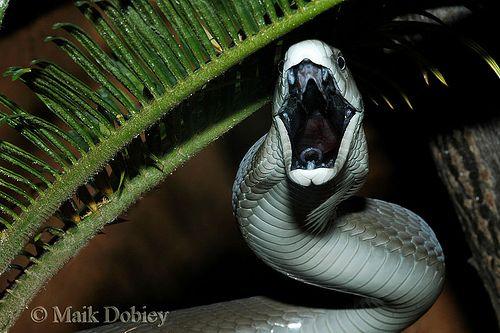 اخطر الثعابين والافاعي واكثرها سمية في العالم