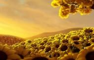 اجمل المناظر من وسط حقول دوار الشمس