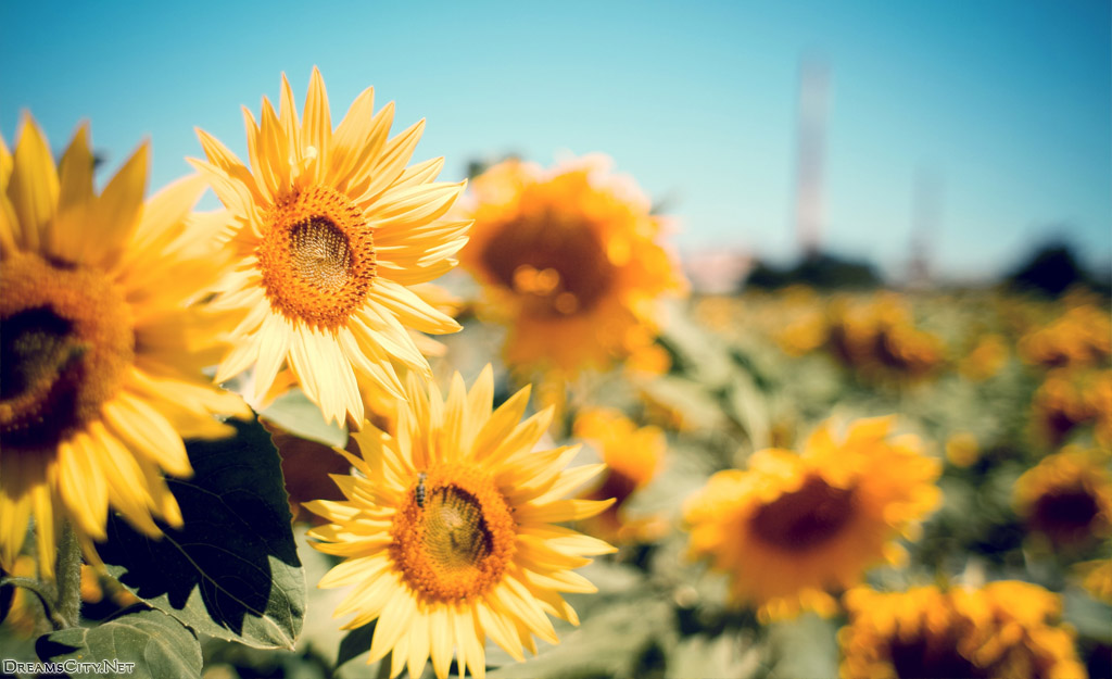 sunflower garden-01