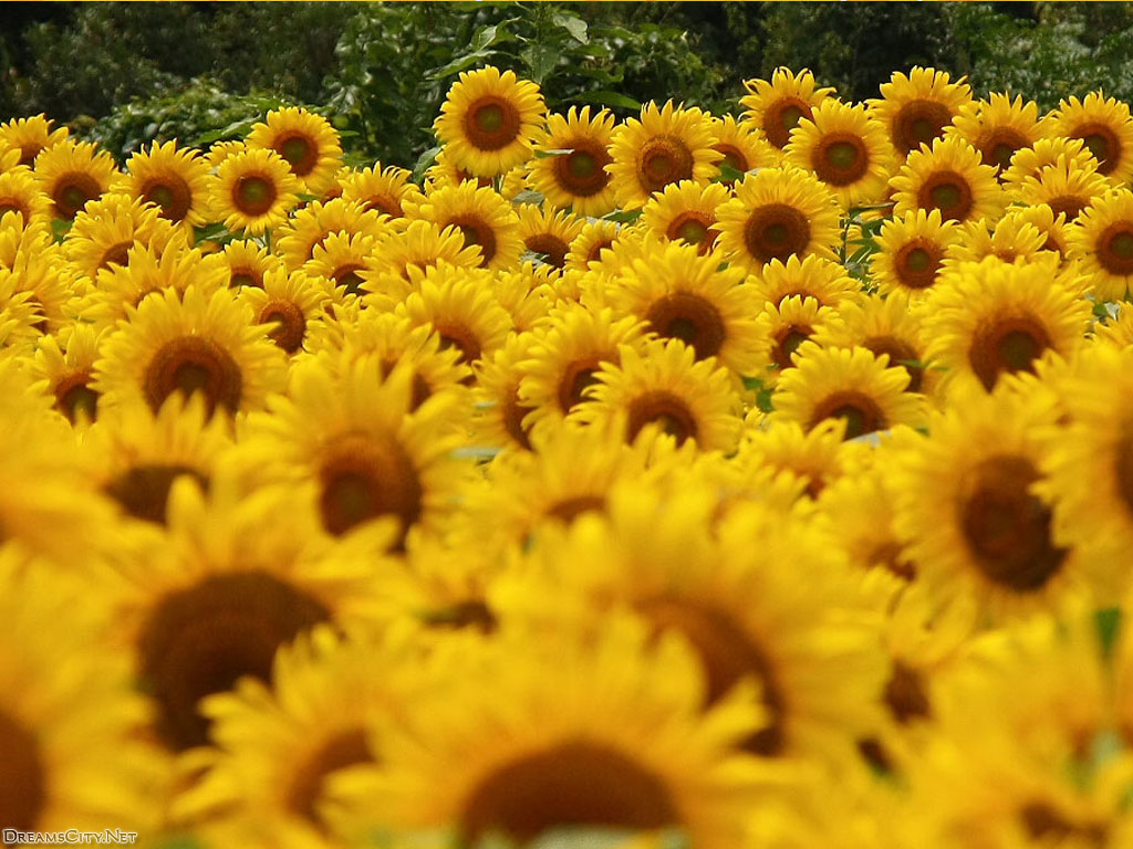 sunflower garden-02