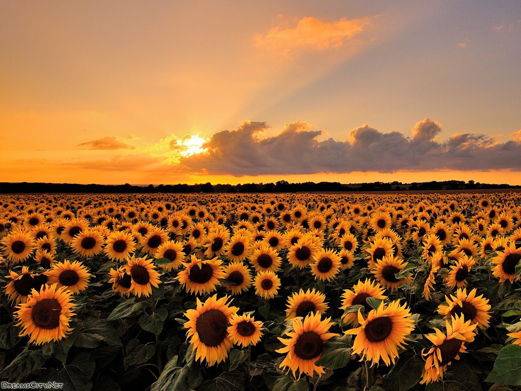 sunflower garden-03