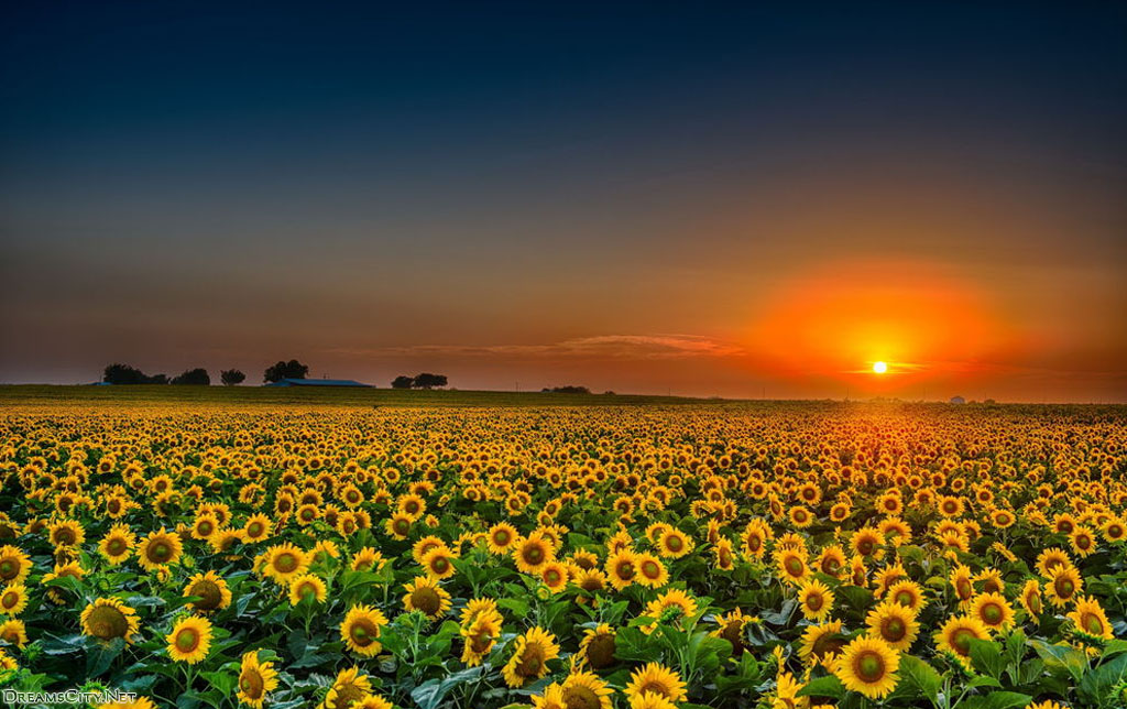 sunflower garden-05