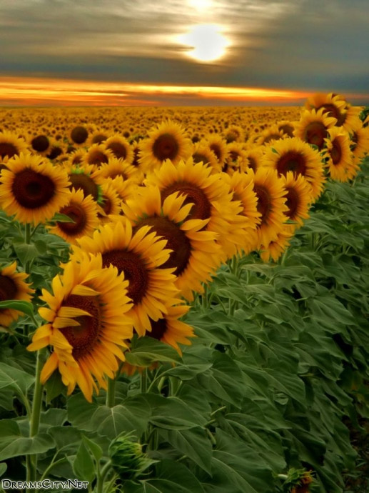 sunflower garden-08