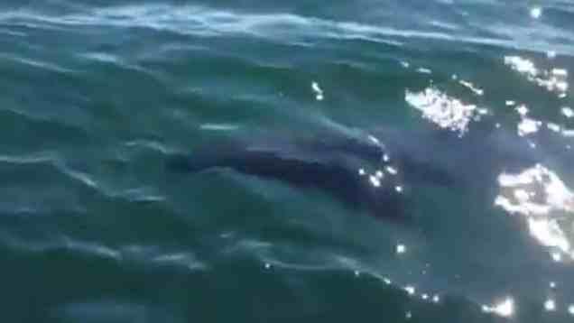 بالفيديو : سمكة قرش ضخمة تسبح الى جوار قارب
